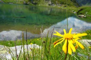 Read more about the article Arnika- die Schmerzen stillt