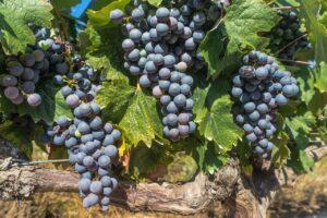 Rote Weintrauben –      Vitamine des 21. Jahrhunderts