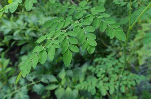 Moringa-Baum des Lebens?