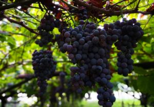 Read more about the article Die Weintraube – Frucht der langlebigen Völker