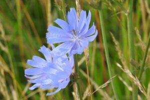 Read more about the article Blüte himmelblau – die Wurzel bitter und gesund