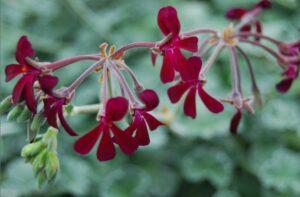 Read more about the article Umckaloabo – was kann die Kapland-Pelargonie