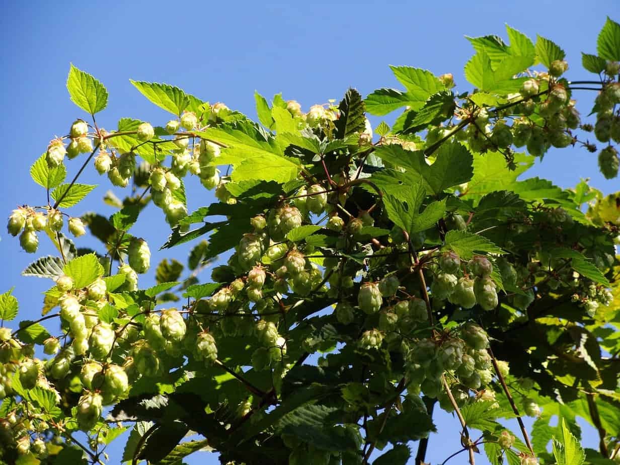 Echter Hopfen – Arzneipflanze des Jahres 2007