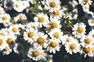 Read more about the article Mutterkraut, eine Heilpflanze auch für Männer