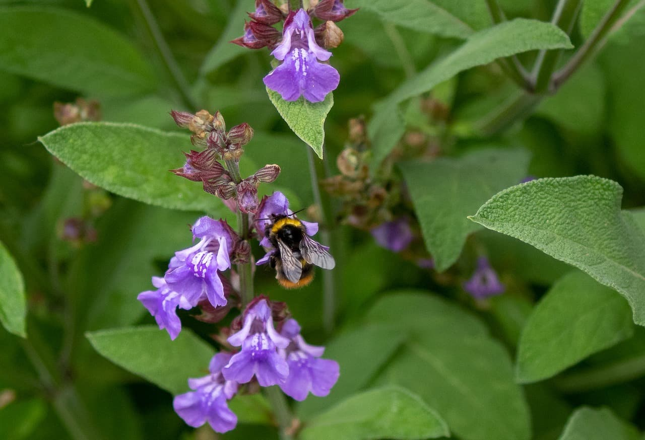 Read more about the article Salbei— nicht nur die beste Bienenweide