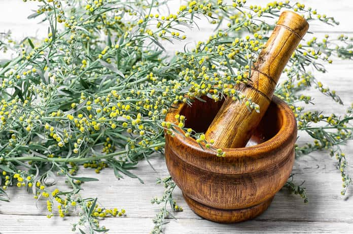 Read more about the article Wermut —Artemisia absinthium